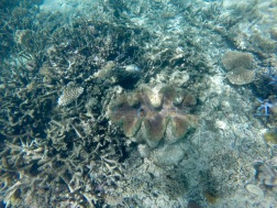 Large clams underwater, the tour guide said these are over 200 years old