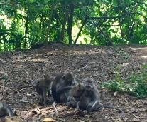 Monkey family grooming each other