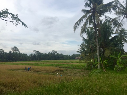 The gorgeous rice fields that we stumbled upon