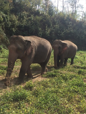 2 pregnant elephants walking to take a bath in the river!