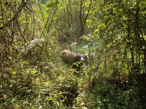 Water Buffalo spotting!