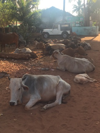 Of course the pile of cows I passed during my run to the beach nearby, Anjuna Beach.