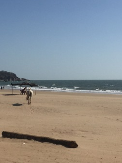 The deserted beaches of Agonda with this white horse walking around!
