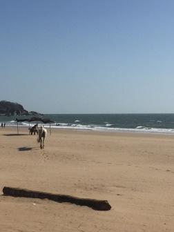 The deserted beaches of Agonda with this white horse walking around!