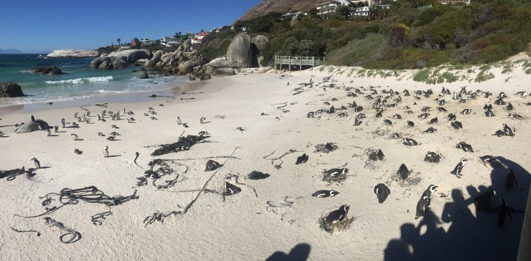 The whole beach was filled with African Penguins