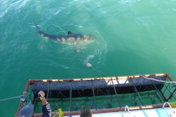 This is how close the sharks get to the cage!