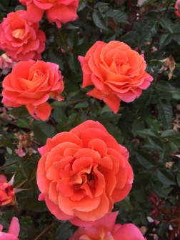 My favorite colored rose!